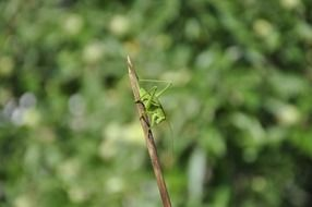 green grasshopper on the twig