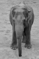 portrait of a young elephant