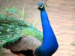 peacock is an exotic bird