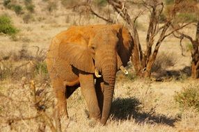 african elephant in the national park