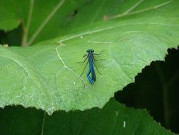 blue dragonfly on a large green leaf