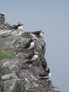 flock of puffins on the cliff