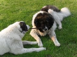 two caucasian shepherd dogs in the garden