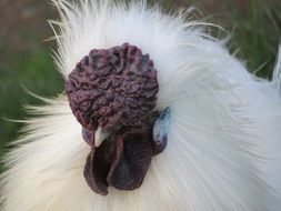 fluffy chicken with an unusual head close-up on blurred background