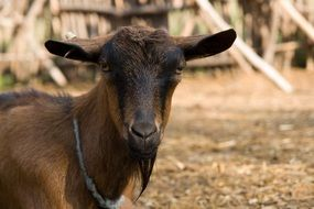 domestic goat on a farm near the fence