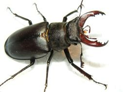 closeup of a stag beetle