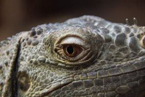 eye of a dragon in iguana close-up