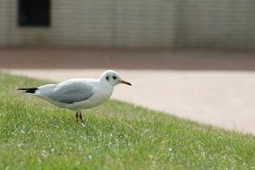 seagull standing on green grass