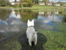 West Highland White Terrier near the water