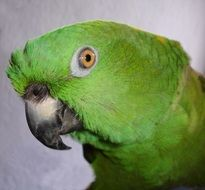 cute yellow neck amazone parrot
