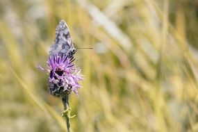 checkerboard-butterfly on a thistle flower