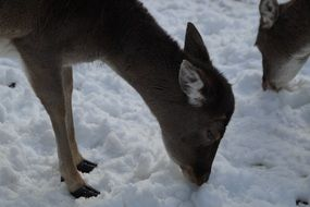 foraging fallow deer in winter