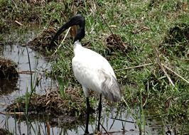 Black-Headed Ibis living in India