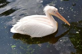 white pelican on the pond