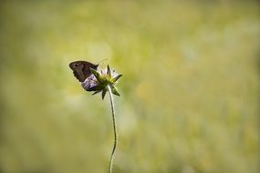 meadow brown butterfly on cornflower