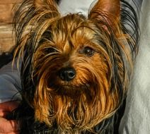 portrait of a domestic yorkshire terrier