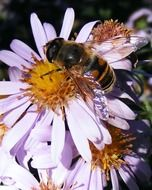 bee pollinates a purple flower