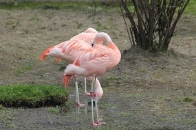 Picture of Pink Flamingo in a wild life