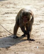 monkey on a leash