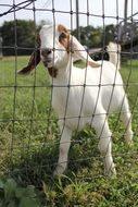 goat in the petting zoo