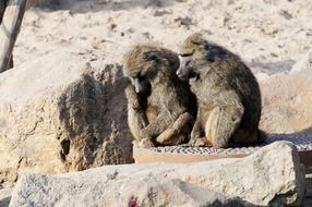 Baboon Couple sitting on a stones