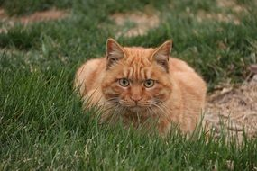 red Cat lays on green Grass Outdoor