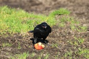 black crow eating an apple