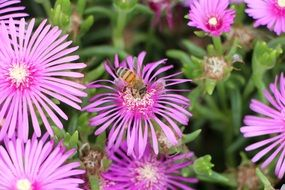 bee on purple perennial aster flower