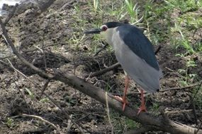 black-crowned night heron in India