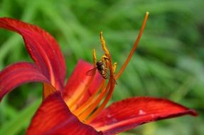 Insect on the daylily