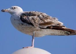 Young Gull at blue sky, bottom view