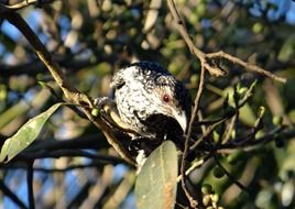 asian koel on the fig tree