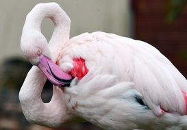 pink flamingo cleans feathers in nature
