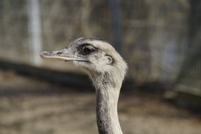 profile portrait of a flightless rhea bird