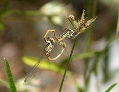 mating dragonflies in wildlife