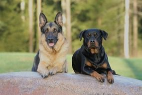 rottweiler and german shepherd