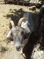white goat with horns on a farm