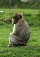 Beautiful and cute Barbary Ape is sitting on the grass