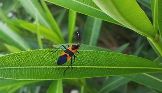 large milkweed bug on the green leaf