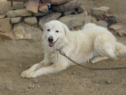 Maremma Sheepdog Sheepdog Dog