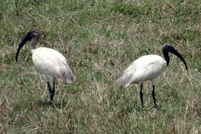 pair of black-headed ibises
