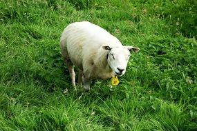 grazing white farm sheep