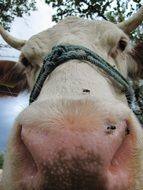 funny portrait of a farm cow