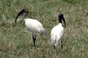 couple of black-headed ibises