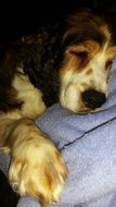 English Springer Spaniel, sleeping dog