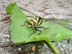 Black and yellow Dragonfly on a leaf
