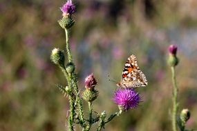 wild colored butterfly sitting on the thistle
