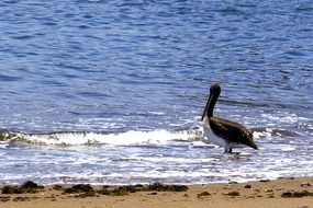 pelican stands in the water on the shore