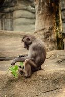 baboon in a zoo
