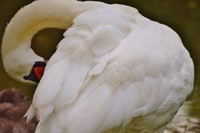 white Swan hides his face behind the wing